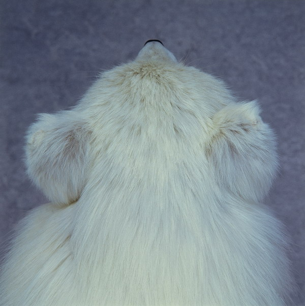 Roni Horn的作品《Untitled (Arctic Fox)》