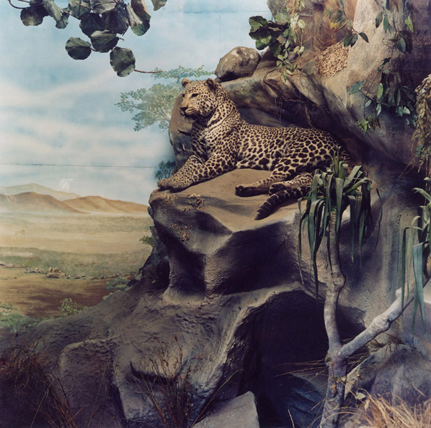 Safari (# 5), Leopard